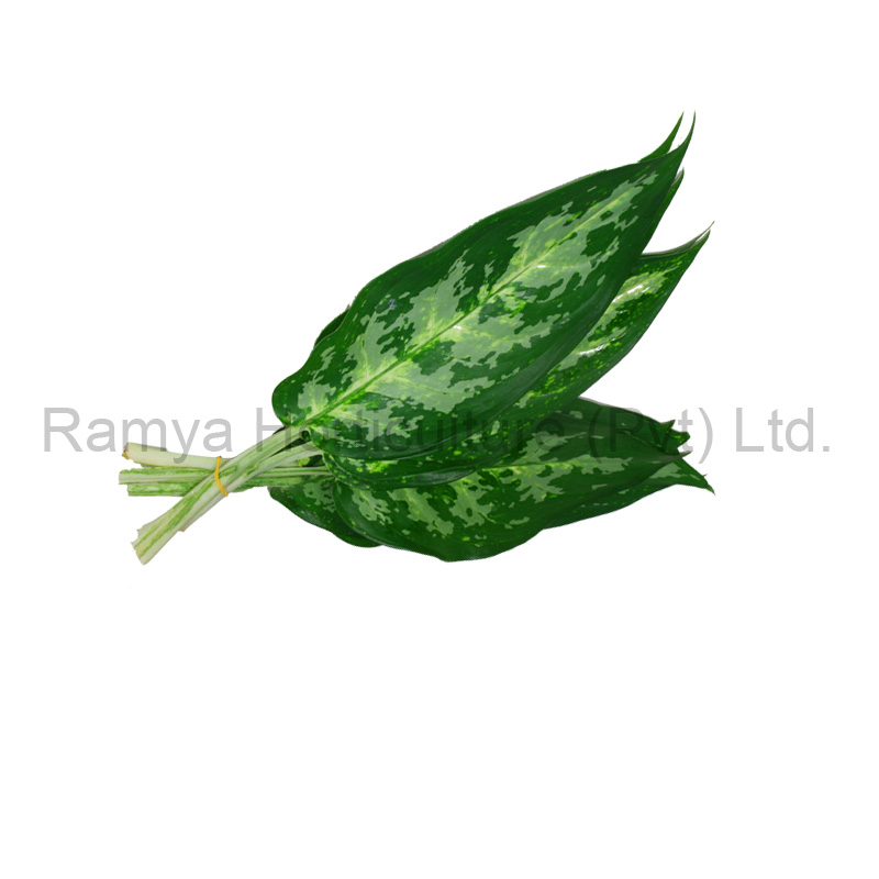 Aglaonema mix (A1)